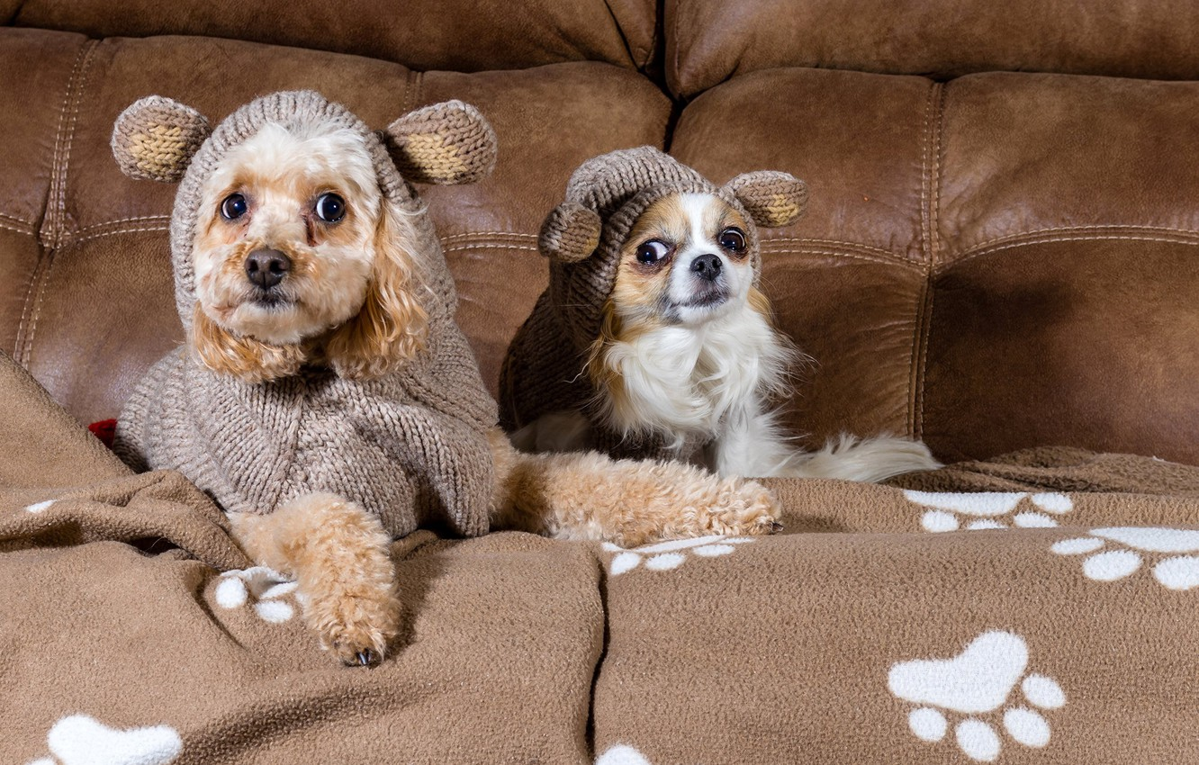 Photo wallpaper dogs, look, sofa, clothing, poodle, Chihuahua