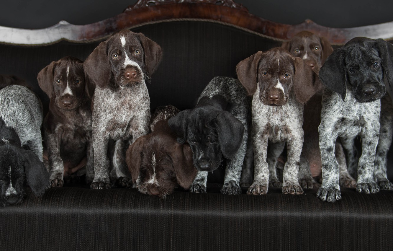 Photo wallpaper dogs, puppies, Drathaar, German Wirehaired pointer