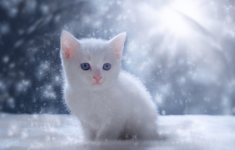 White Baby Cat Wallpaper