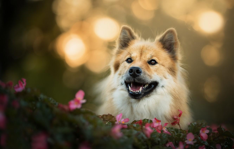 Photo wallpaper look, face, flowers, dog, bokeh, The eurasier