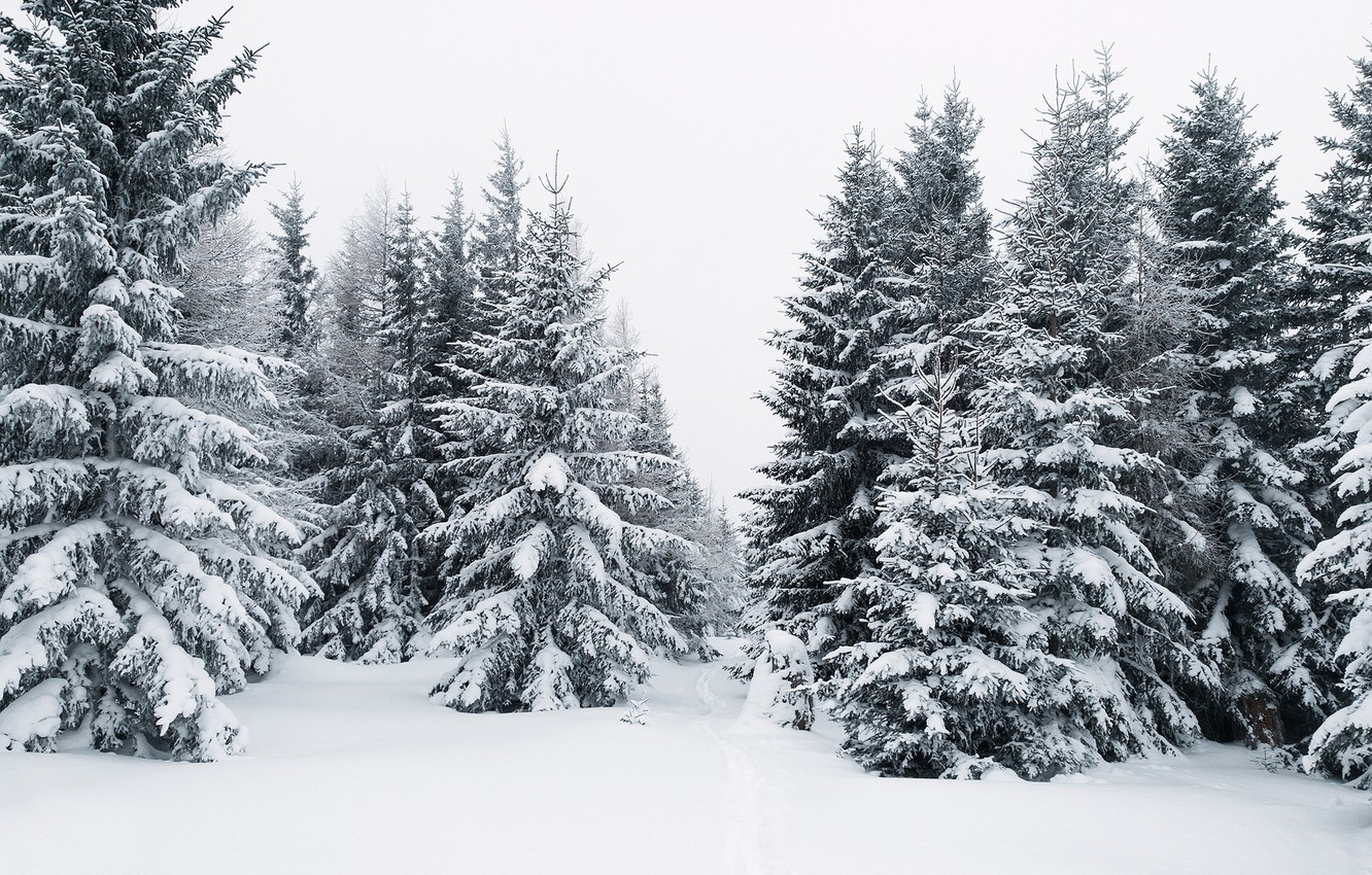 Photo wallpaper winter, forest, snow, tree