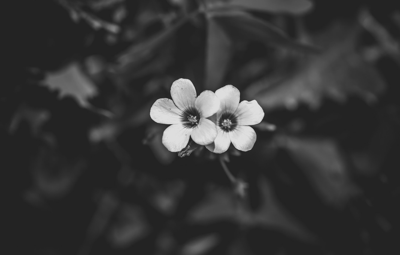 Photo wallpaper flowers, petals, black and white