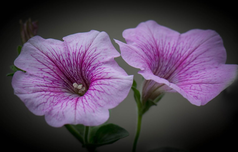 Photo wallpaper flower, macro, petunias