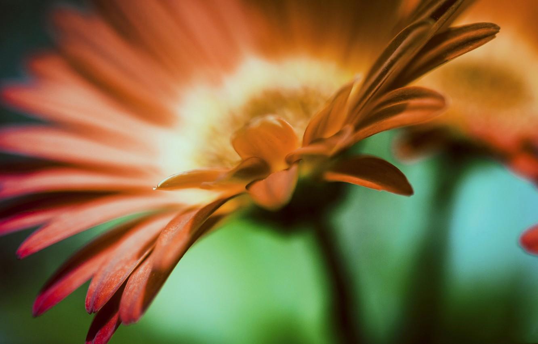Photo wallpaper flower, petals, gerbera
