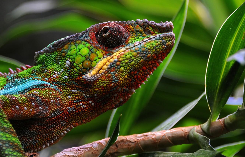 Photo wallpaper macro, chameleon, leather, color