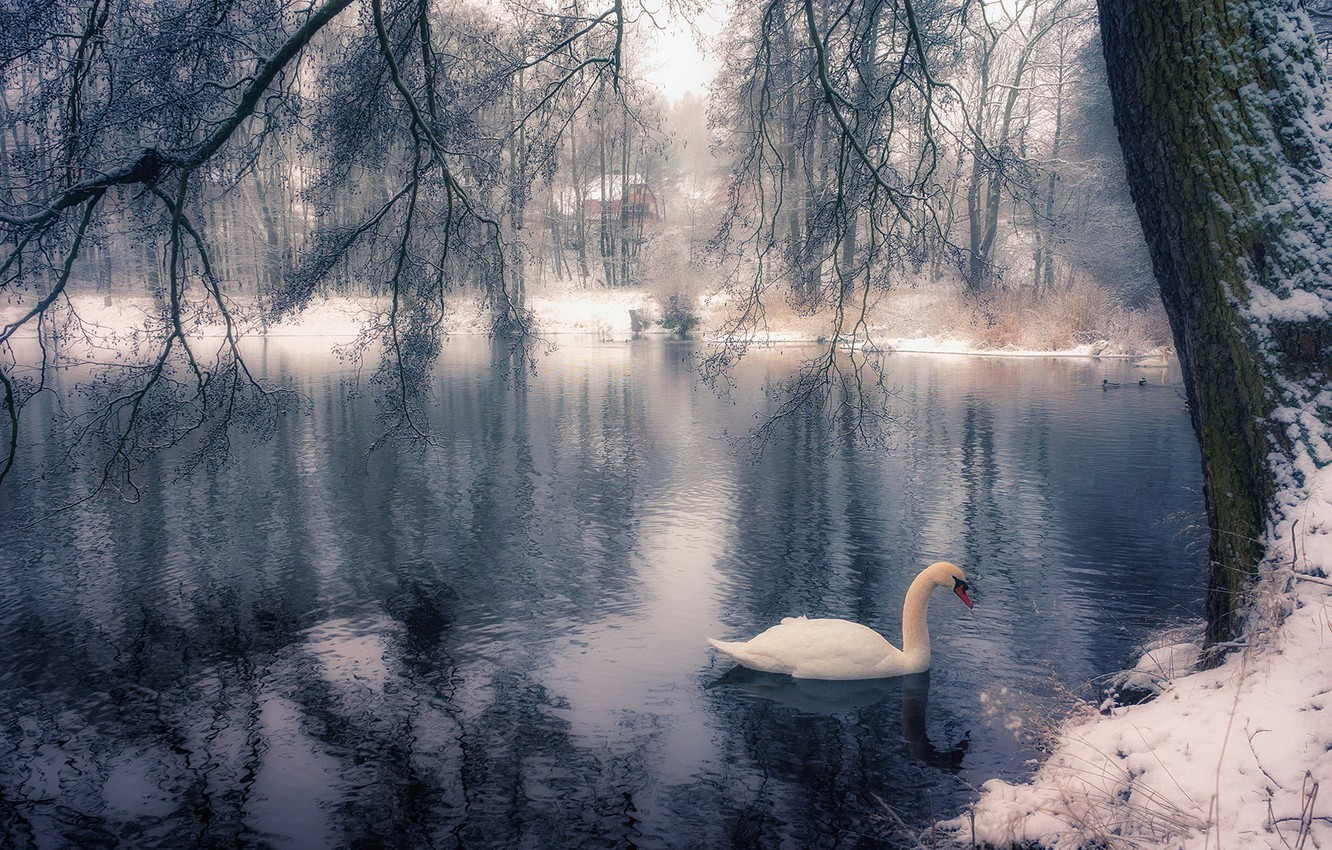 Photo wallpaper winter, branches, lake, Park, tree, bird, Swan