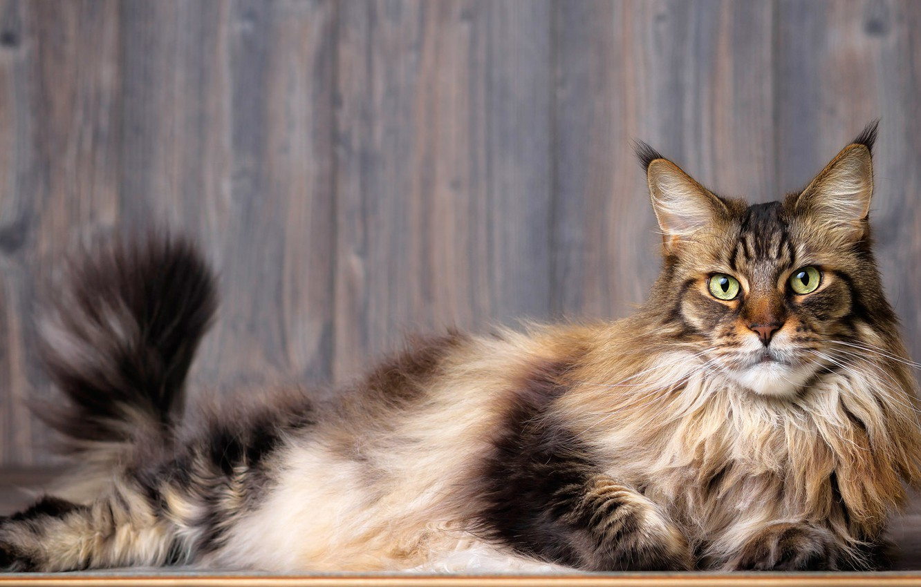 Photo wallpaper cat, cat, look, face, grey, background, Board, tail, lies, striped, green-eyed, Maine Coon