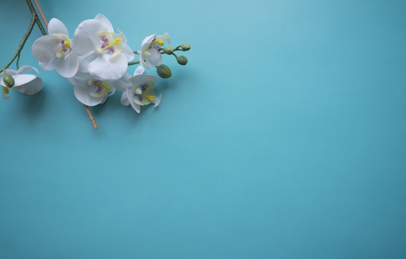 Photo wallpaper flowers, branch, Orchid, blue background