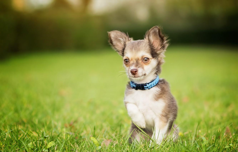 Photo wallpaper grass, dog, face, lawn, Chihuahua, bokeh, doggie, foot, dog