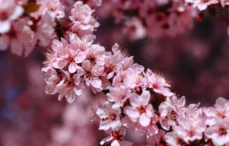 Photo wallpaper macro, cherry, branch, spring, flowering, flowers