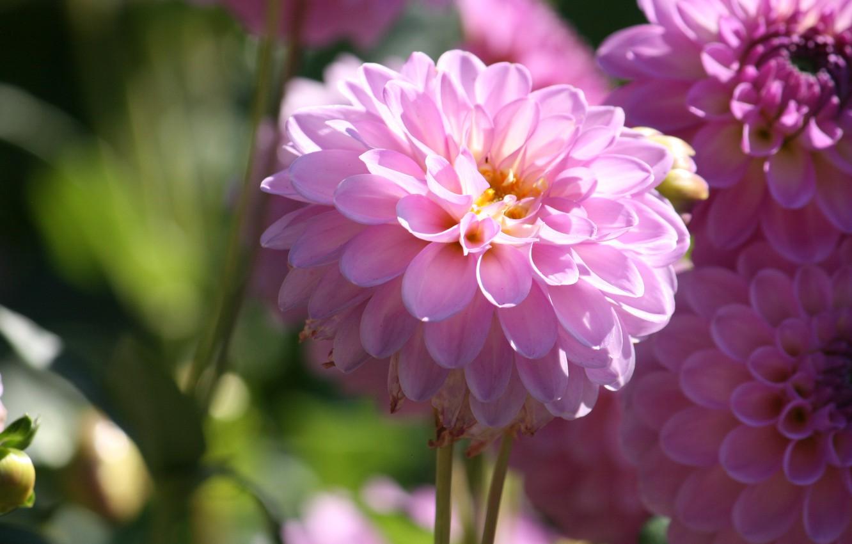 Photo wallpaper Bokeh, dahlias, Pink flowers, Dahlia's, Pink flowers