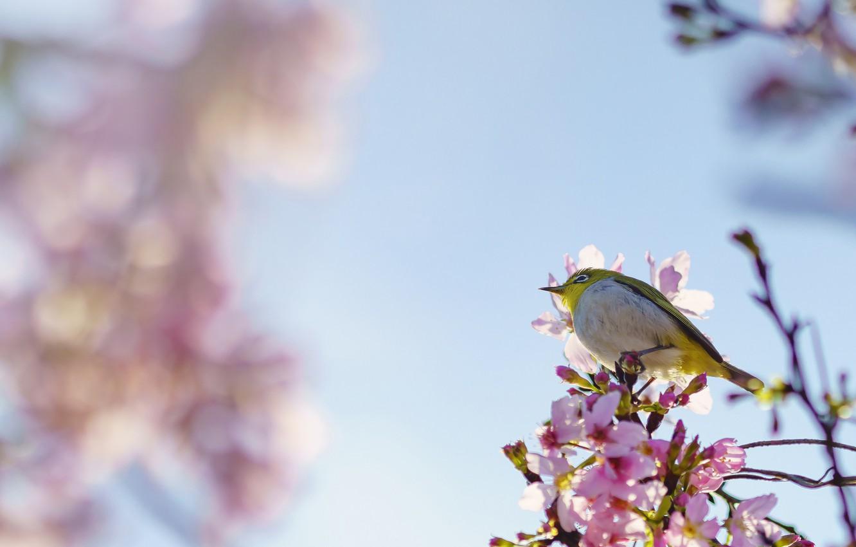 Photo wallpaper background, bird, Sakura