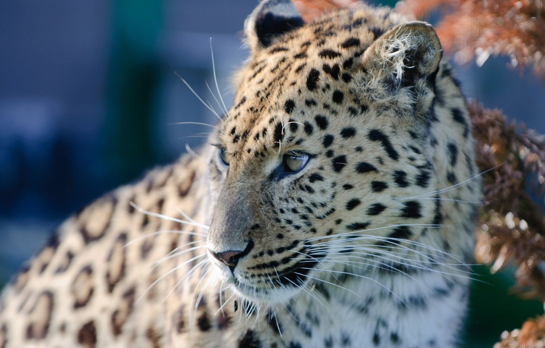 Photo wallpaper portrait, predator, leopard, wild cat, The Amur leopard