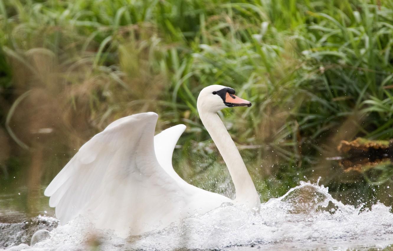 Photo wallpaper white, water, drops, wings, Swan, beautiful