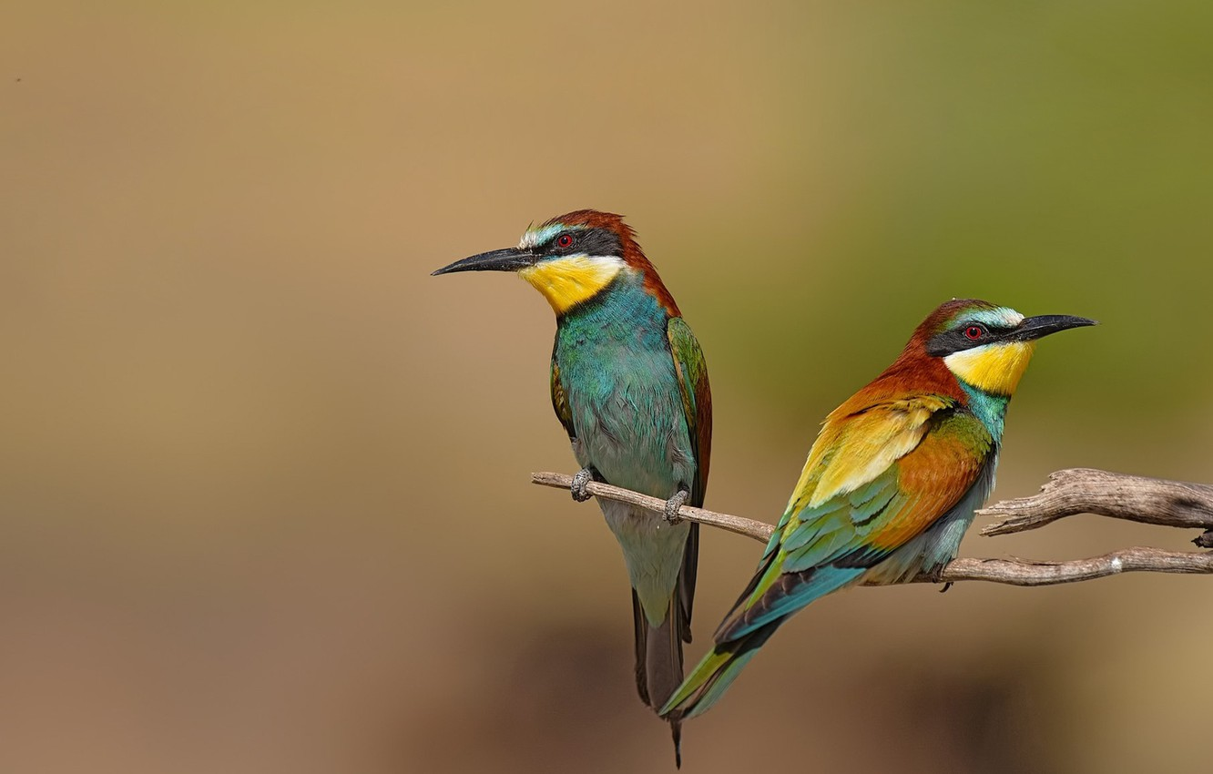 Photo wallpaper birds, background, branch, pair, female, male, two pieces, bee-eaters