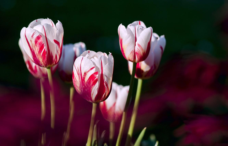 Photo wallpaper petals, garden, meadow, tulips