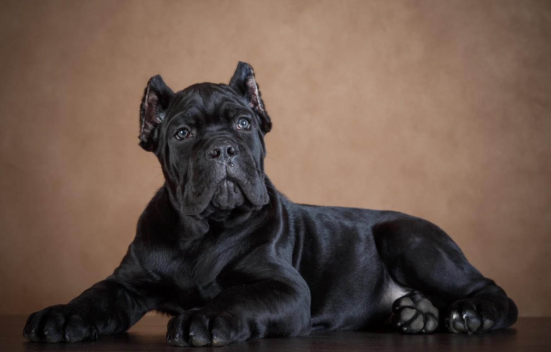 Photo wallpaper background, black, dog, dog