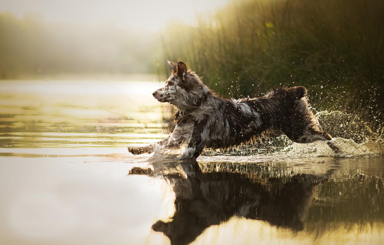 Photo wallpaper water, squirt, dog, running, Sira