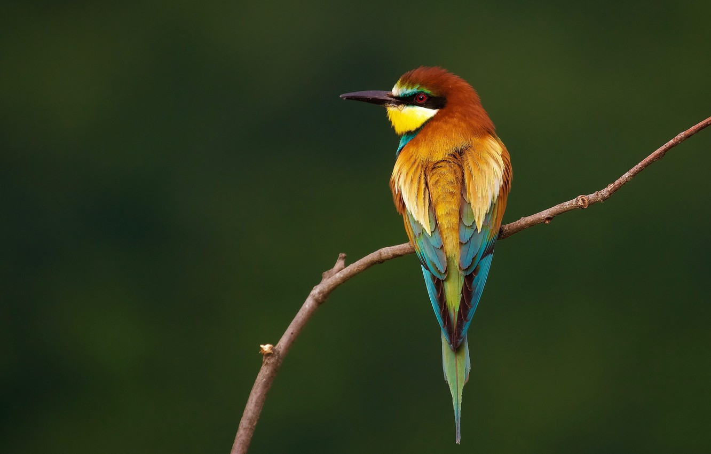 Photo wallpaper birds, branch, European bee-eater