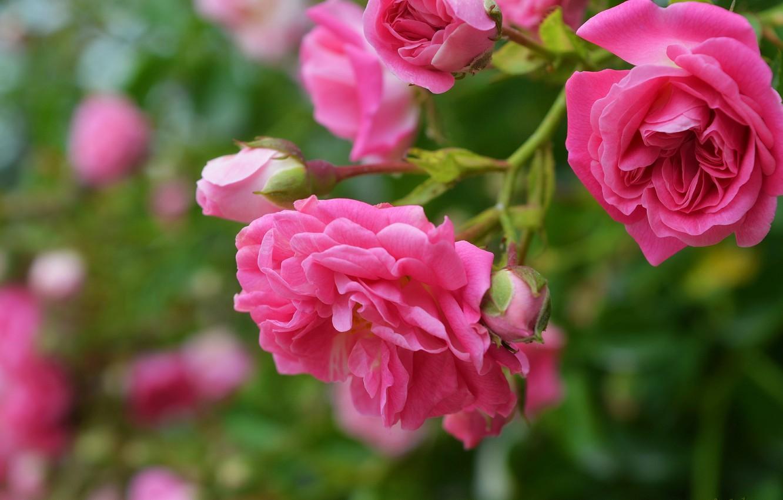 Photo wallpaper Bokeh, Bokeh, Pink rose, Pink roses