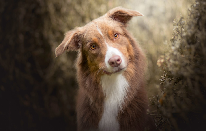 Photo wallpaper look, face, dog, Australian shepherd, Aussie