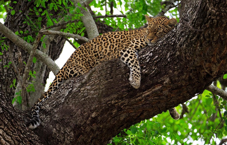 Photo wallpaper stay, sleep, predator, leopard, lies, Africa, wild cat, on the tree
