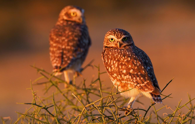 Photo wallpaper birds, branches, owls, Burrowing owl
