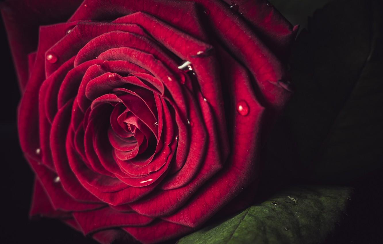 Photo wallpaper macro, rose, Bud, red