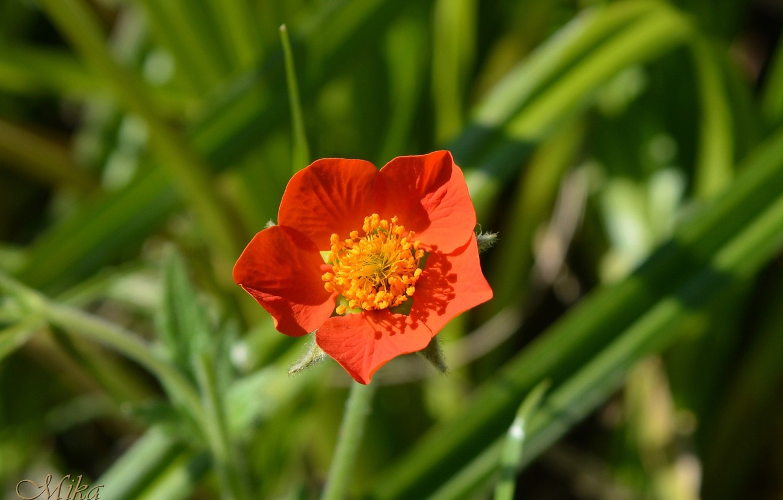 Photo wallpaper Red flower, Red flower, Flower