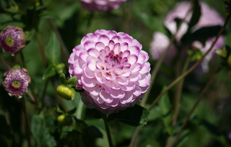 Photo wallpaper Dahlia, Bokeh, Bokeh, Pink flower, Pink flower, Dahlia