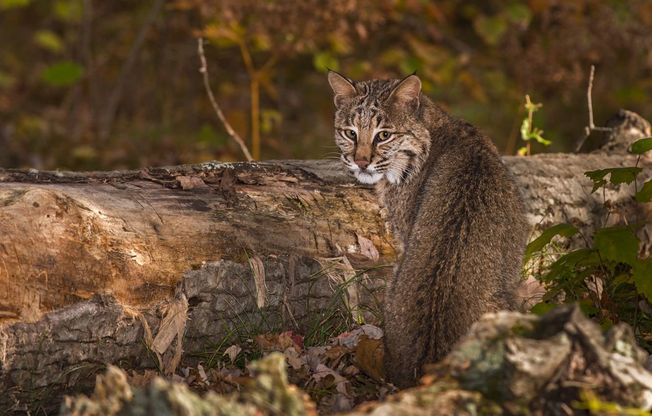 Photo wallpaper forest, grass, look, leaves, nature, tree, lynx, bokeh