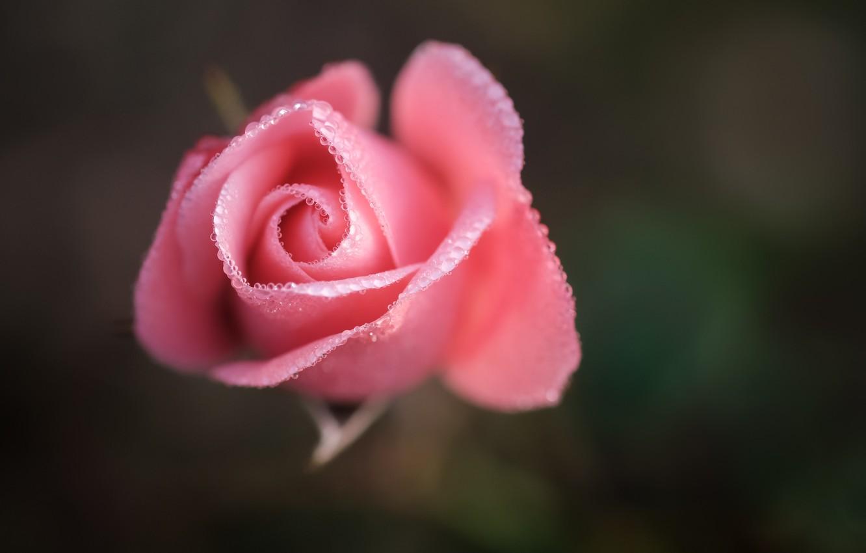 Photo wallpaper flower, drops, macro, pink, rose, Bud
