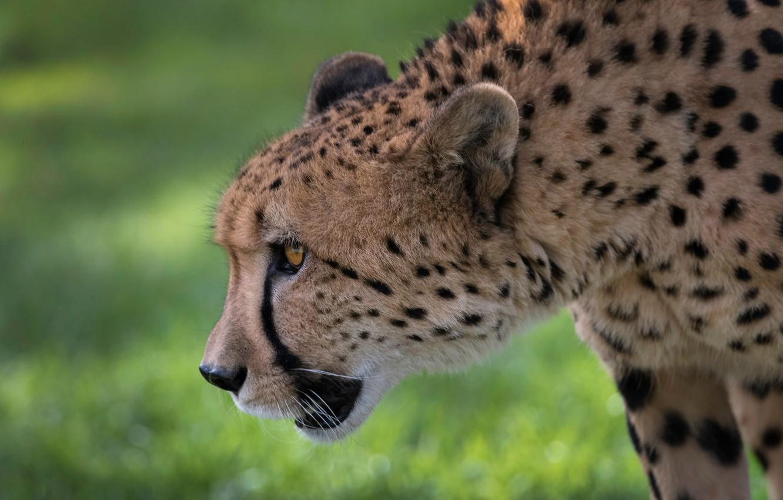 Photo wallpaper face, background, portrait, profile, wild cat, bokeh, Cheetah