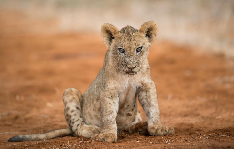 Photo wallpaper nature, Leo, beast, lion