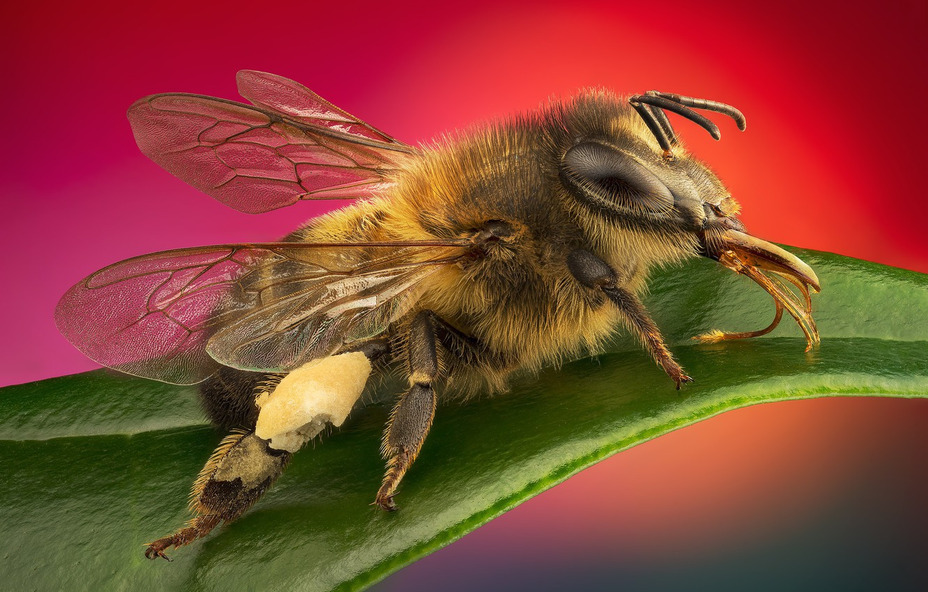 Photo wallpaper macro, insects, bees, stacking