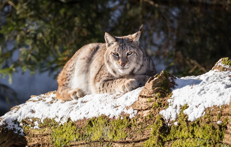 Photo wallpaper snow, animal, stay, moss, log, lynx