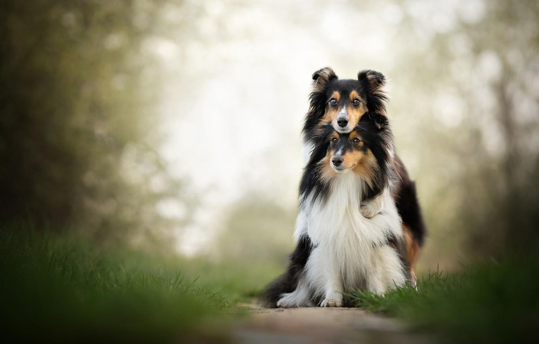 Photo wallpaper dogs, a couple, friends, bokeh, two dogs, Sheltie, Shetland Sheepdog