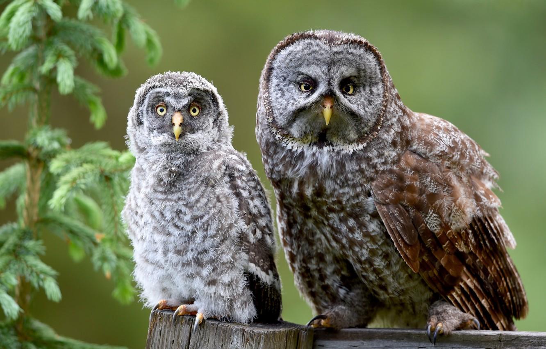 Photo wallpaper birds, owls, spruce branch