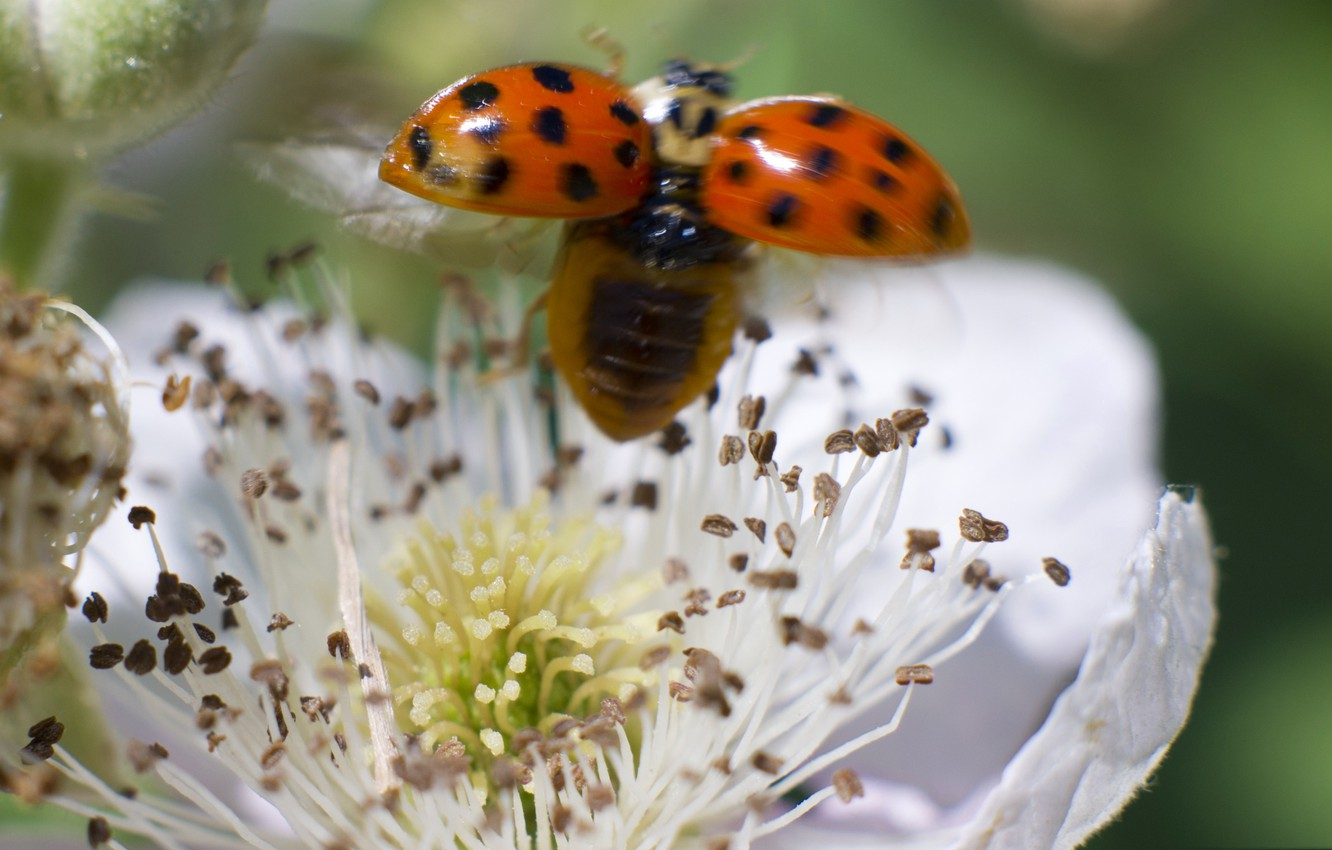 Photo wallpaper flower, nature, ladybug, insect