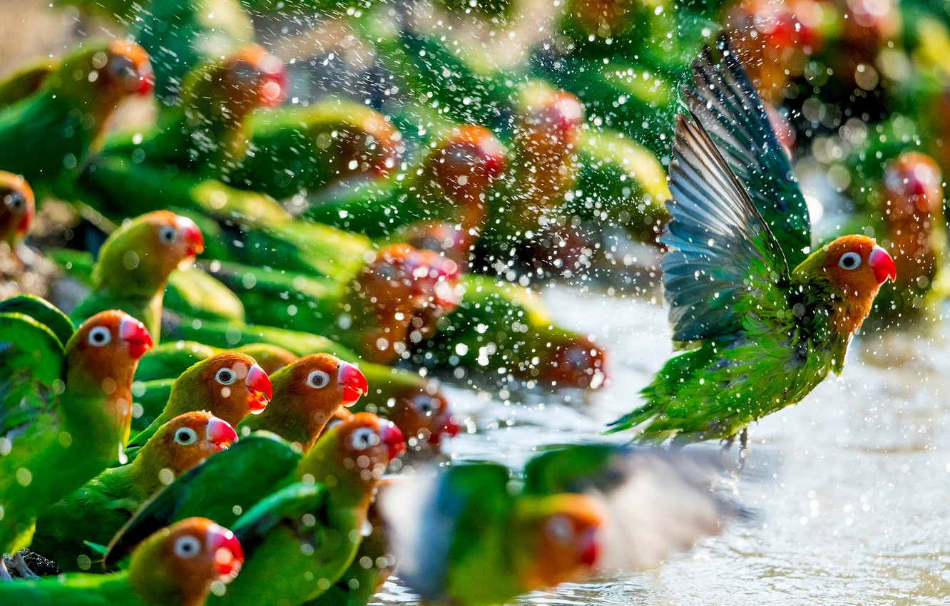 Photo wallpaper green, colors, colorful, red, animals, flying, yellow, water, wings, feathers, birds, beak, Parrots