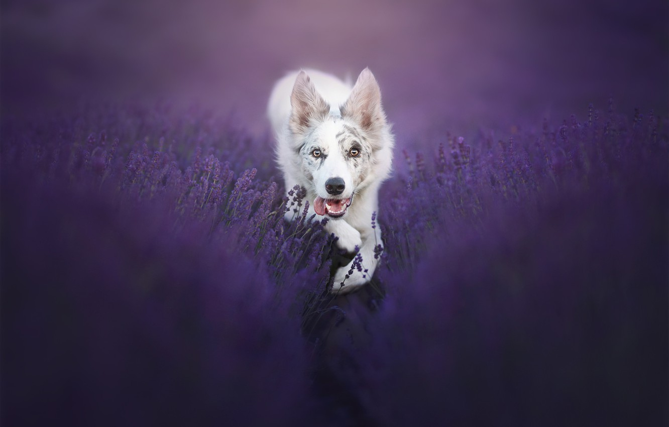 Photo wallpaper look, dog, lavender, bokeh, The border collie