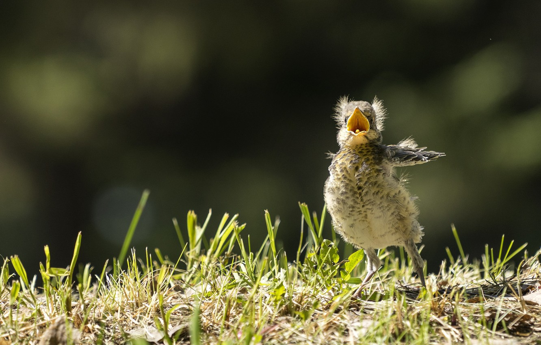 Photo wallpaper spring, Chicks, thrush, juvenile