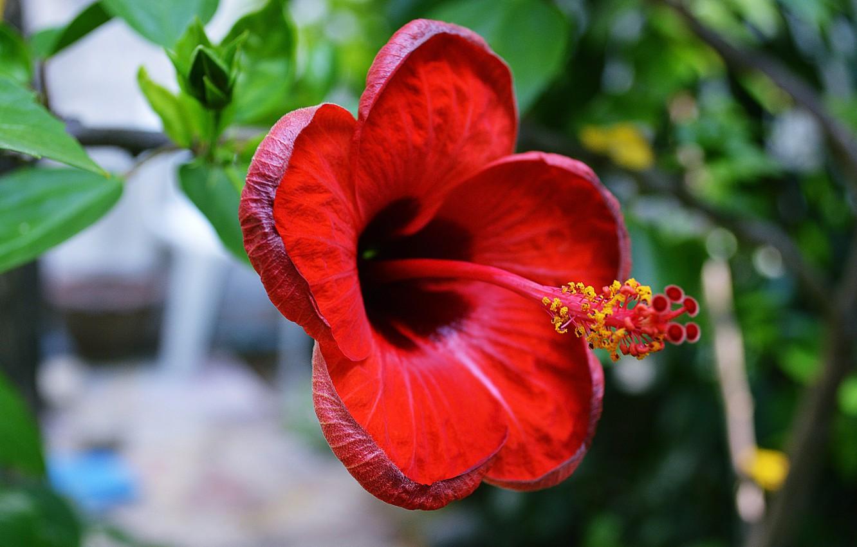 Photo wallpaper flower, nature, hibiscus
