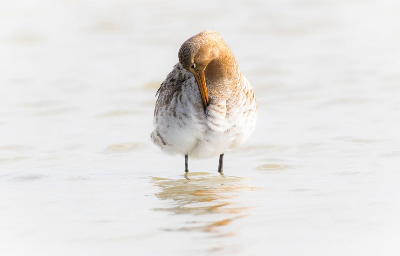 Photo wallpaper water, bird, beak, black-tailed Godwit