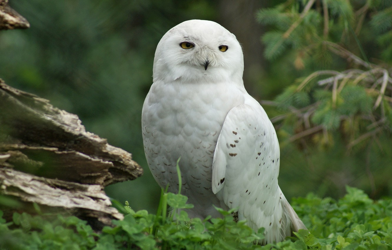 Photo wallpaper look, tree, bird, Snowy owl, the Assiniboine zoo