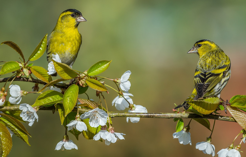 Photo wallpaper birds, cherry, background, branch, pair, flowering, flowers, Siskins