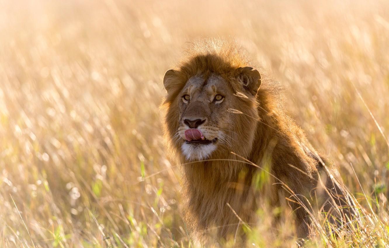 Photo wallpaper language, grass, light, Leo, Africa, bokeh