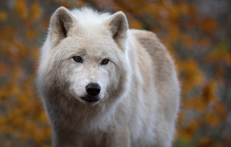 Photo wallpaper look, face, background, wolf, predator, Arctic wolf