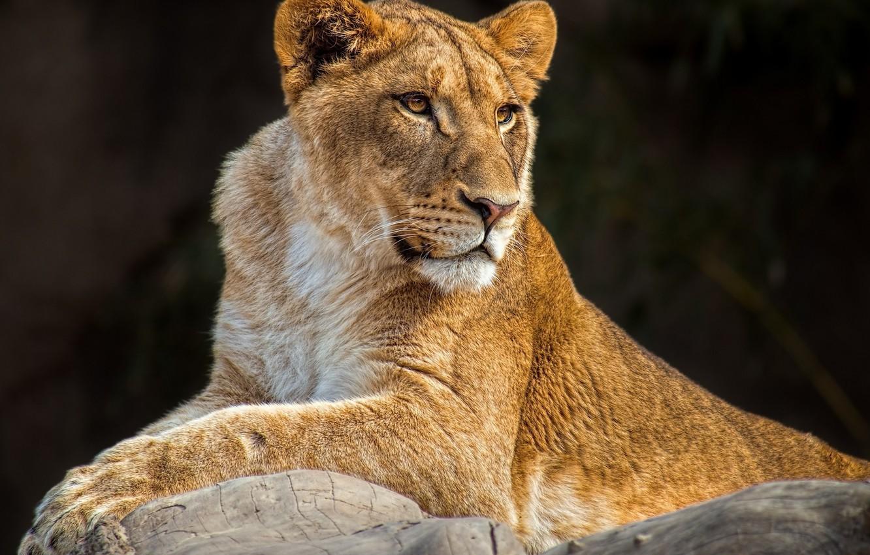 Photo wallpaper predator, lies, lioness, wild cat, young