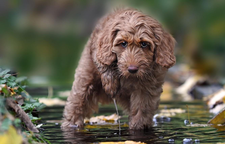 Photo wallpaper look, water, dog, Labradoodle